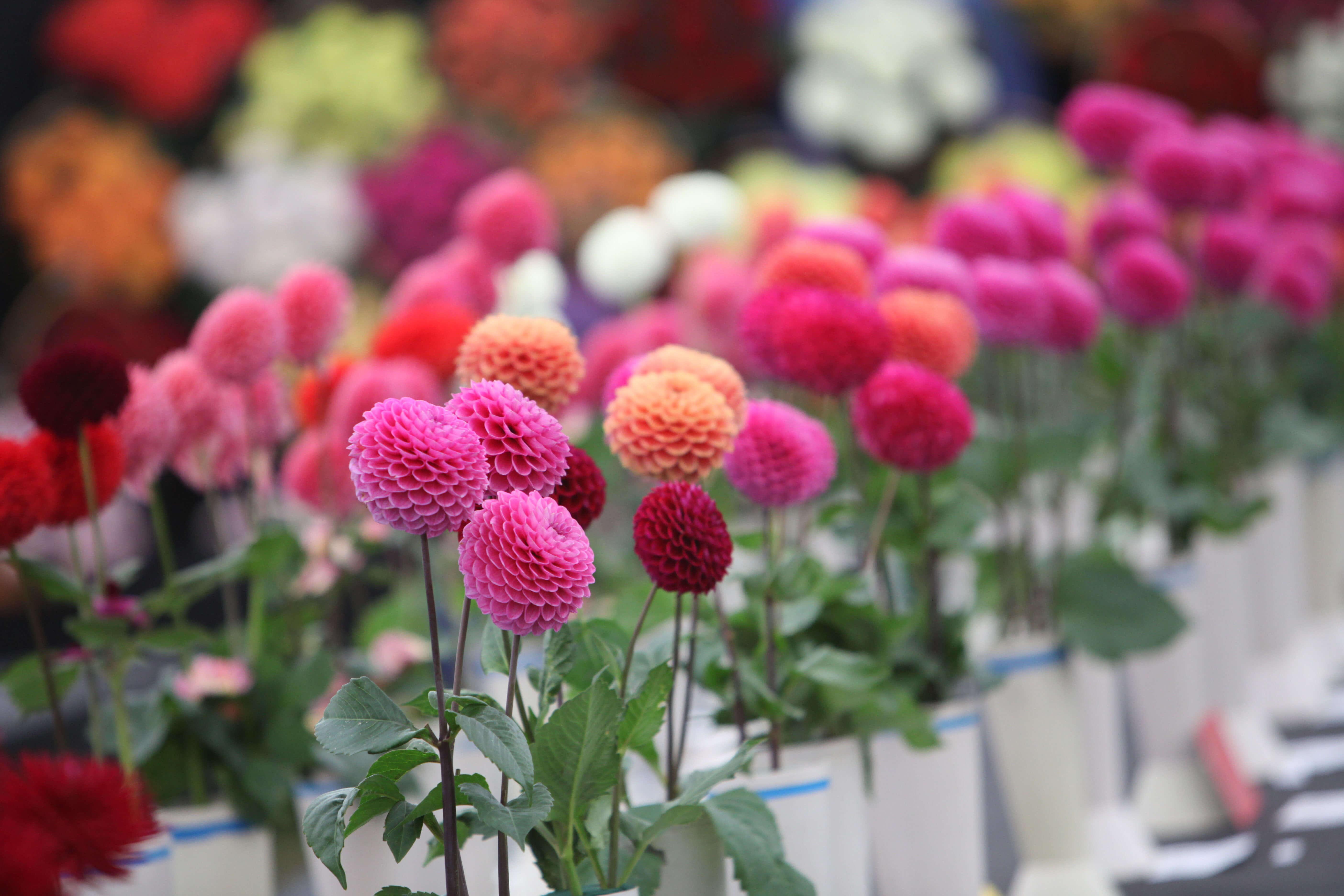 Malvern Autumn Flower Show Slacks Coaches